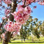 LA郊外で桜!ハンティントンビーチで花見☆